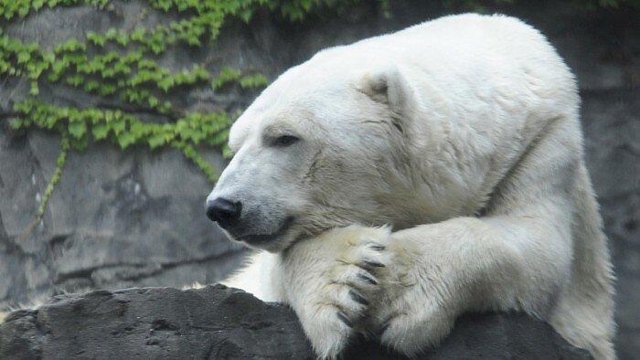 Apes! Asyik-asyik Ski, Pria Ini Bangunkan Induk Beruang dan Diserang