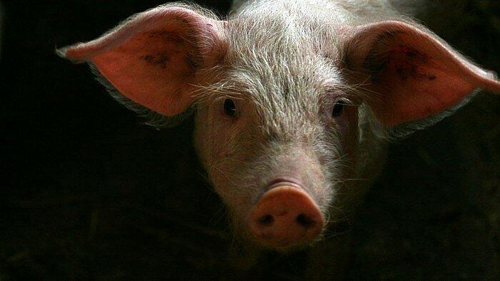 kiaulių širdies nauda sveikatai)
