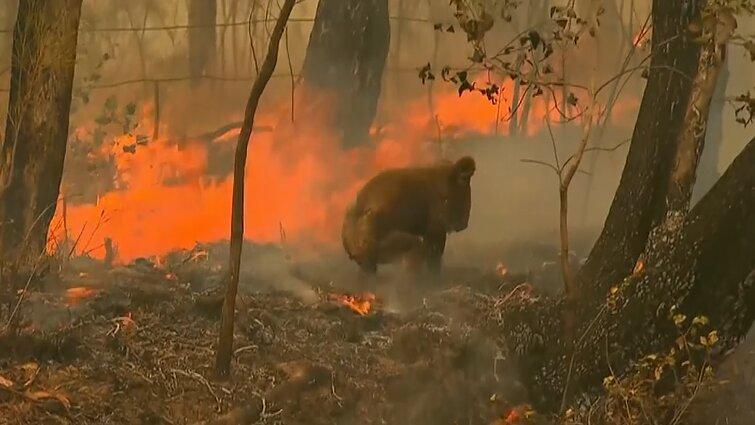 Širdį veriančios aimanos: australė iš ugnies gniaužtų ištraukė degančią, sunkiai sužeistą koalą