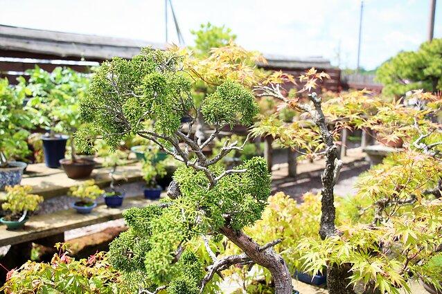 Japoniškas sodas Kretingos rajone