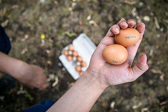 Kiaušinis, kiaušiniai