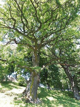 Šimtamečiai Šventybrasčio ąžuolai